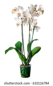 White orchid in pot with many flowers, isolated on white background