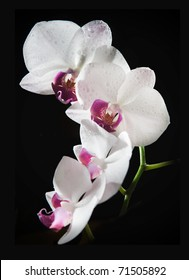 White orchid with purple center isolated on black background