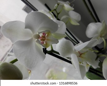 a white orchid with some purple spots on it near a window