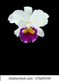 """White orchid,Cattleya """"Queen Sirikhit"""" (Cattleya hybrids.) isolated with path"""