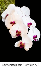 White orchids with black background.