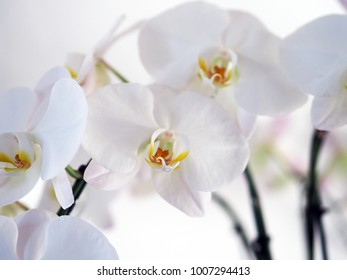 White orchids flowers blur white background.