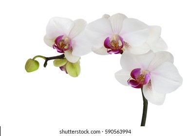 White orchids isolated on white