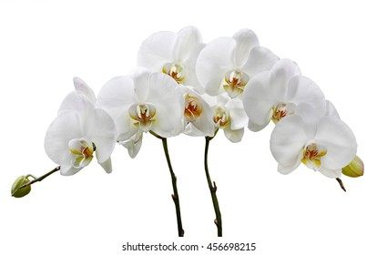 white orchids on a white background
