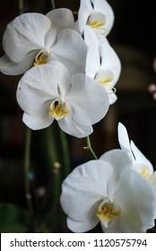 white orchids on dark background