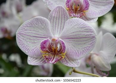White orchids (phalaenopsis)
