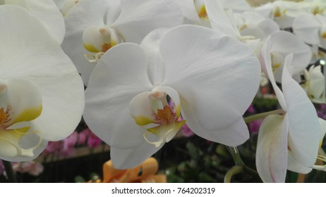 White Orchids of Thailand