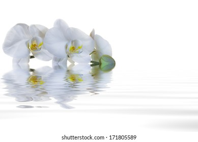 White orchids with yellow centers on a white background, protruding from a pool of clear water