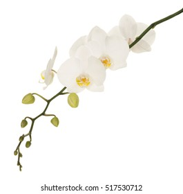 White orchids with yellow middles isolated on white isolated background