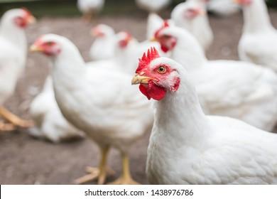 white organic chicken free range