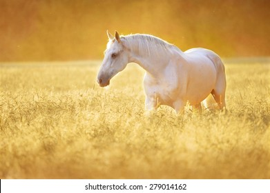 White Orlov trotter horse in rye, golden sunset