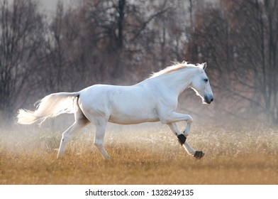 white orlov trotter runs free in cold autumn foggy meadow