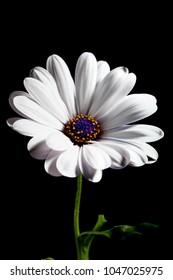 White Osteospermum flower on black background