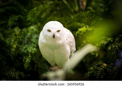 White Owl ; Hedwig