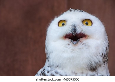 White Owl with shocking meme face