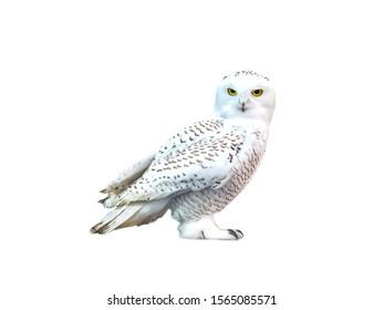 white owl, snow-white bird sits, isolate, predator, yellow eyes