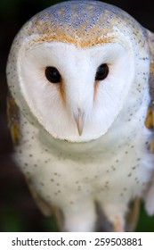 White owl staring right at you.