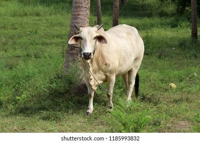 White ox on green field in farmland