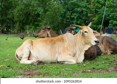 white ox on pasture of a farm