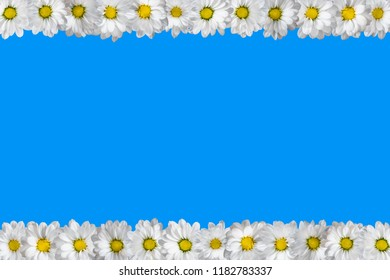 White oxeye daisies arranged in two lines. Blue background.