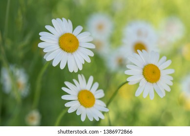 White Oxeye daisies in the meadow background