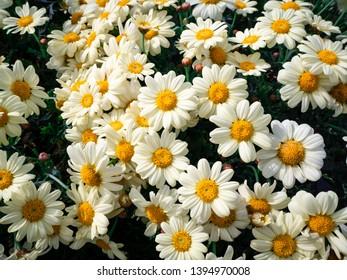White oxeye daisy flower Leucanthemum vulgare
