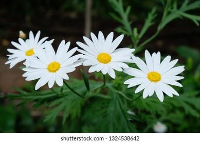 white oxeye daisy (Leucanthemum vulgare)