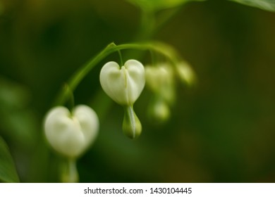 White pacific bleeding heart flowers. Soft defocused macro shoot. Floral concept.