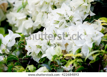 White paper flowers have been thailand stock photo edit now white paper flowers have been in thailand scientific name is bougainvilleaantae kingdom mightylinksfo