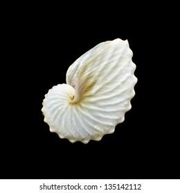White Paper Nautilus or Argonauts seashell isolated on black background