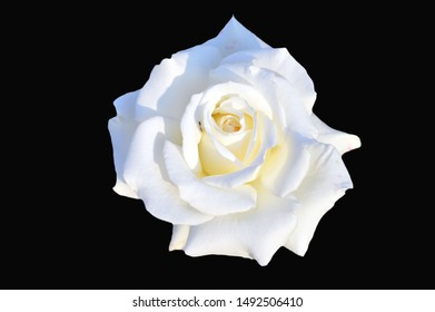 White park rose with insects inside petals isolated on black background