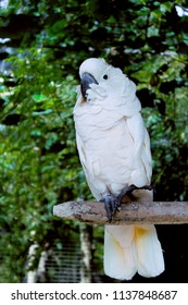 White Parrot Salmon-crested Cockatoo Or Moluccan Cockatooin the Garden Animals at Gianyar Bali Indonesia
