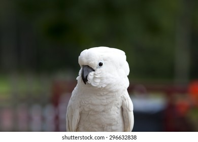 A white parrot sitting and looking at photographer