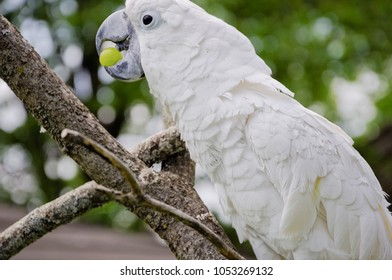 White parrot sitting on a tree and eating a grape