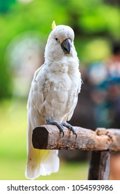 White Parrot , Sulphur-crested cockatoo