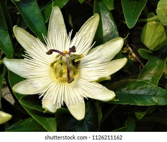 white passiflora constance elliott