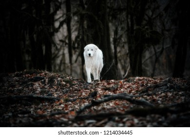 White patrol dog Maremma or Abrujie standing in a dark forest