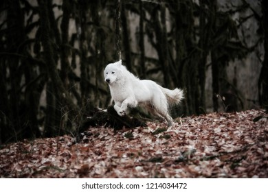 White patrol dog Maremma or Abrujie is running in the dark forest