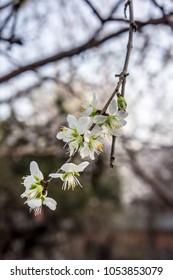 White peach blossom