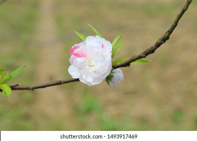 White Peach blossom in park