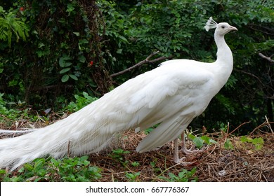 White Peacock Birds in Thailand and Southeast Asia.