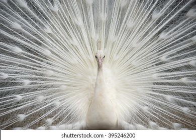 White Peacock Finery