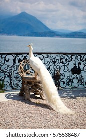 white peacock on a chair against a background of mountains and clouds