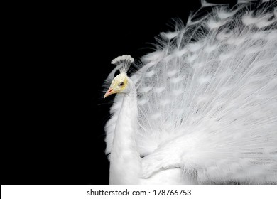 White peacock on a plain black background.