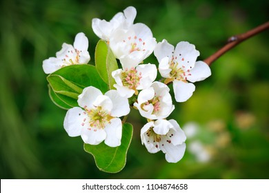 White pear blossoms with blurred green background.