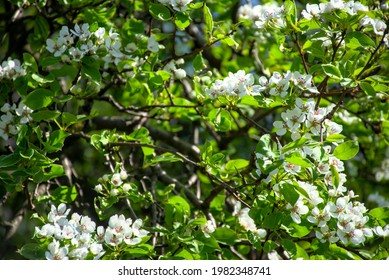 white pear blossoms, pear tree - Shutterstock ID 1982348741