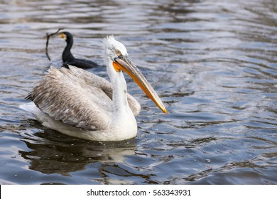 White pelican bird on the dark waters