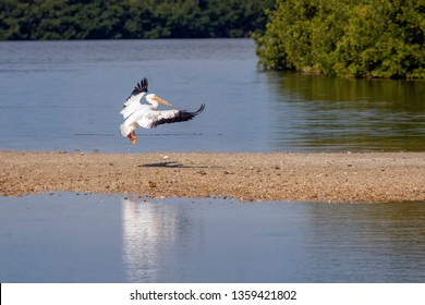 A white pelican comes in for a landing on a tidal island at Ding Darling National Wildlife Refuge on Sanibel Island, Florida.