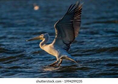 White pelican from the Danube delta with open wings