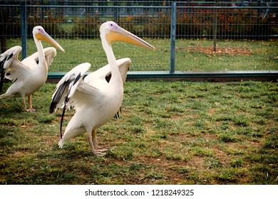 White Pelican dries its wings (Pelecanus onocrotalus)